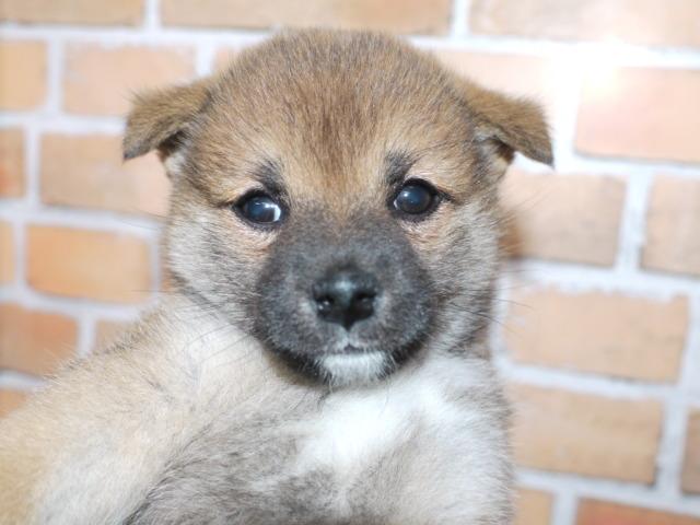 柴犬(両親豆柴認定犬)