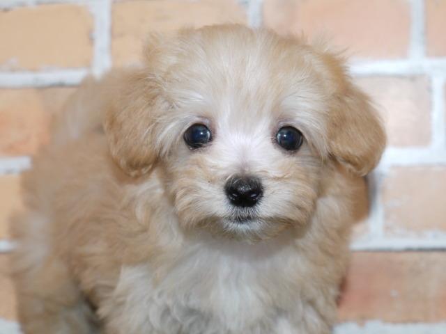 ハーフ 父犬マルチーズ 母犬トイ・プードル